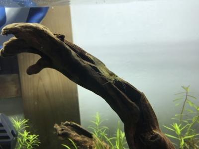 流木にいるヤマトヌマエビ