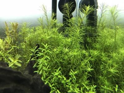 密度が上がってきた水草