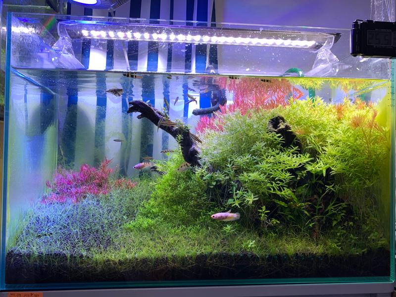 17ヶ月目の60cm水草水槽