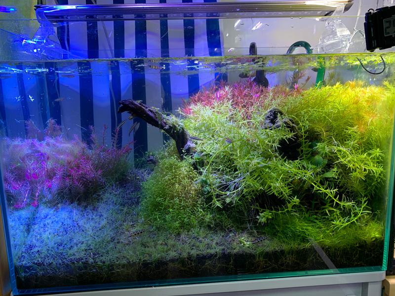 19ヶ月目の60cm水草水槽