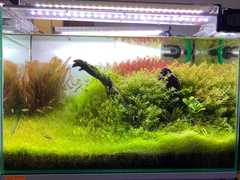 22ヶ月目の60cm水草水槽