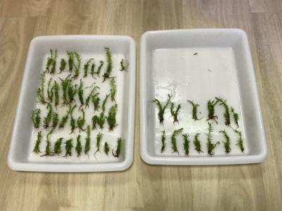 1つの組織培養カップから取り分けた水草たち