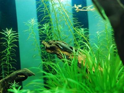 生い茂った水草と流木とオトシンネグロ