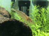 赤いヤマトヌマエビ