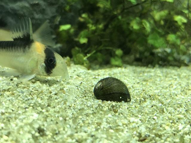 イシマキガイとコリドラス