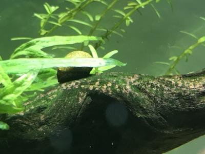 石巻貝が緑色状のコケを食べている様子