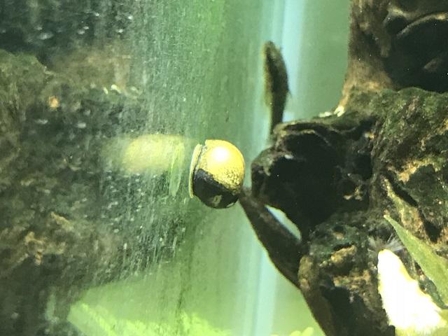 ガラス面についた石巻貝