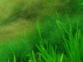 緑と茶色のアオミドロ