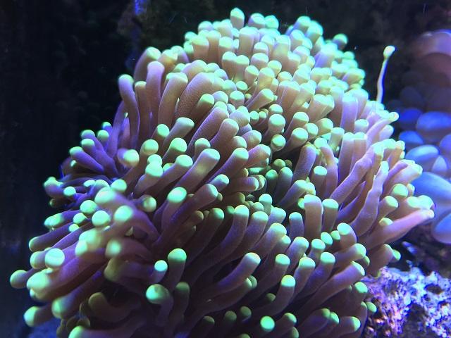 グリーンのツツマルハナサンゴ