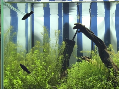 ブラックモーリーと水草水槽