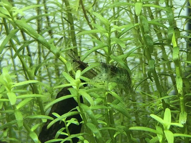 水草に隠れる2匹のミナミヌマエビ
