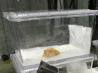 小さなツノガエルの飼育ケージ