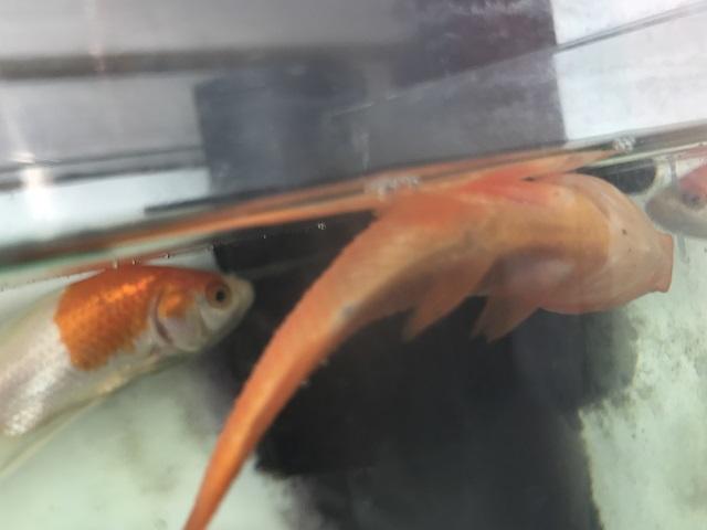 死んで横たわっている金魚