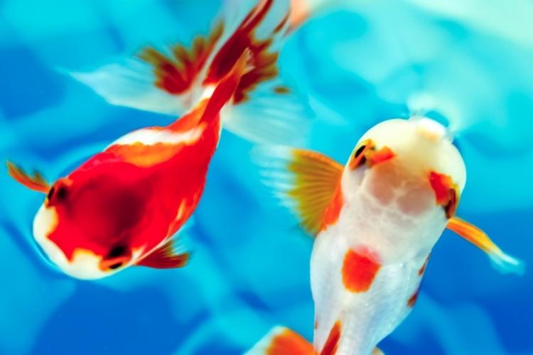 水面を泳ぐ紅白の金魚