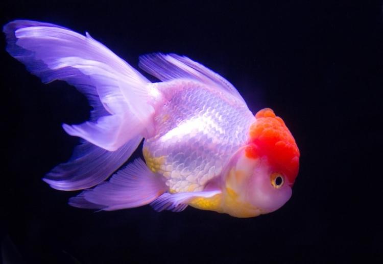 丹頂(金魚)