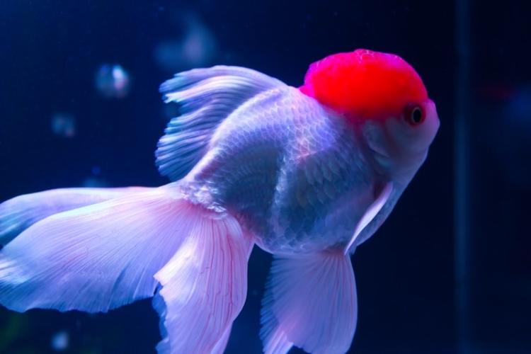 優雅に泳ぐ丹頂(金魚)