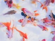 様々な金魚たち