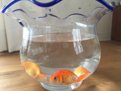 金魚鉢に入れられた金魚
