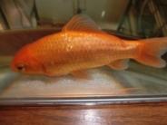 大きくなったお祭りの金魚