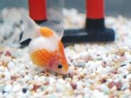 床にお腹をつけている金魚