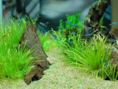 群れで右向きに泳ぐグリーンネオンテトラ