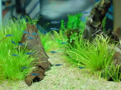 群れで左向きに泳ぐグリーンネオンテトラ