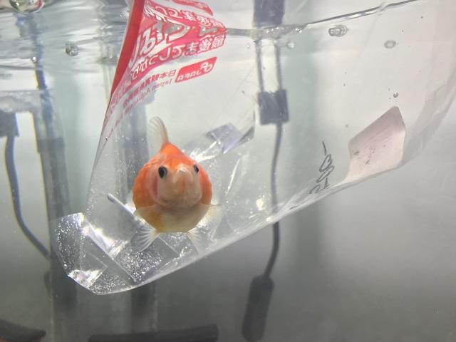袋のまま水槽に入れられた金魚