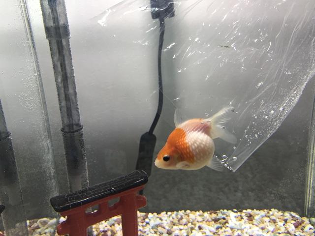 水合わせが終わってそっと水槽に放たれる金魚