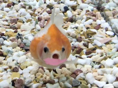 落ちてきたエサを食べようとする金魚