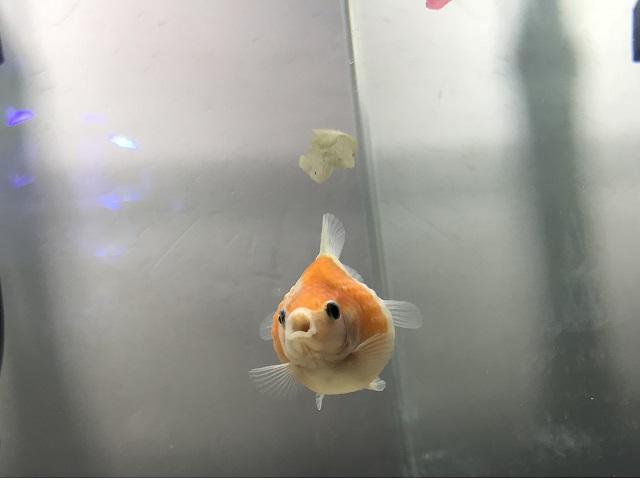 エサを食べている金魚
