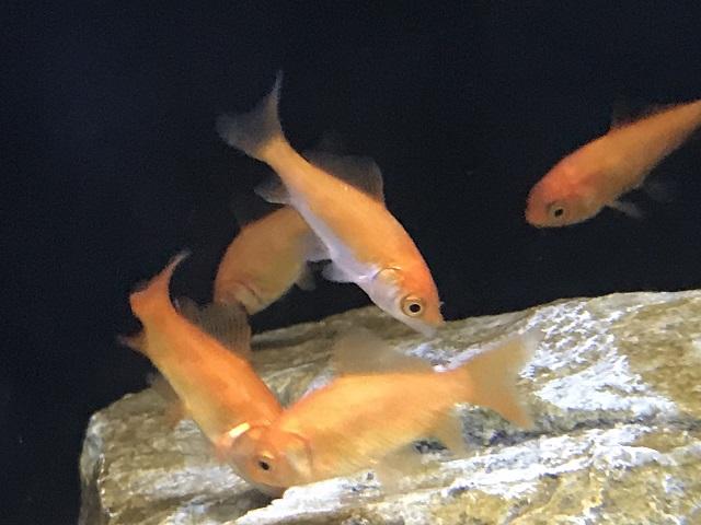 茶苔を食べる金魚たち