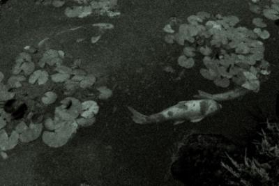 夜の池に泳ぐ鯉