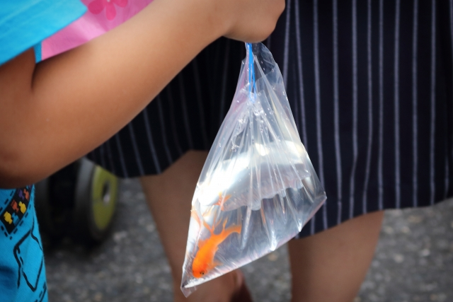金魚すくいで持ち帰られた金魚