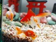金魚が集まった様子