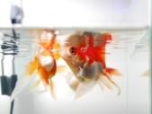エサ食べる金魚たち