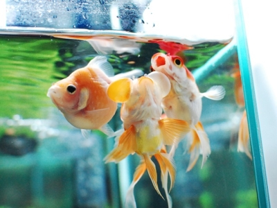 エサをとられまいとする3匹の金魚