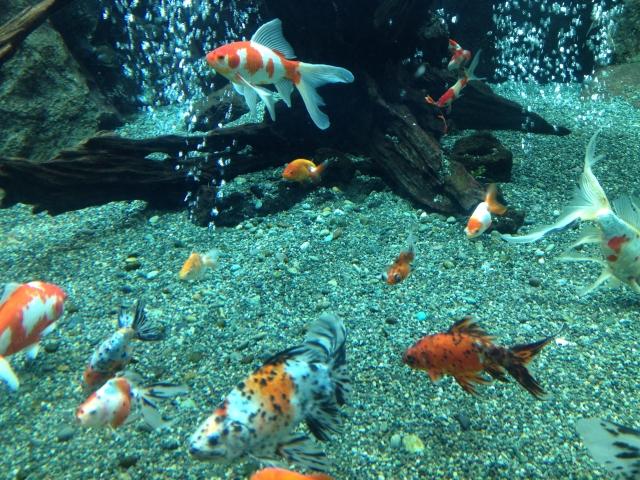 複数匹の金魚