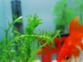 アナカリスと赤い金魚