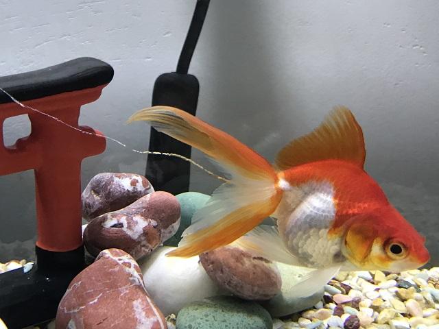 金魚の長いフン