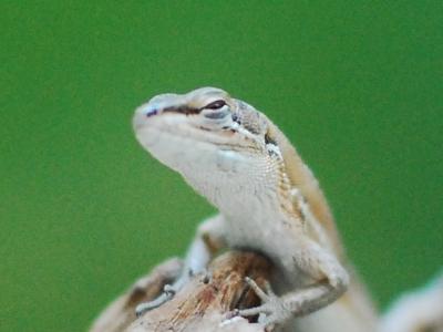 目を細めるニホンカナヘビ