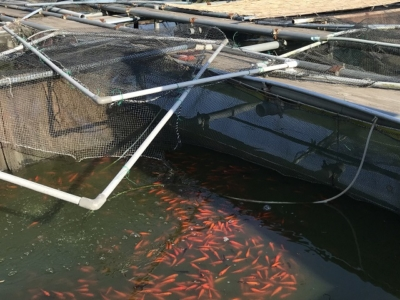 金魚の養殖風景