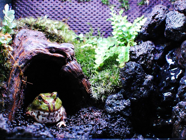ホオコケツノガエルと滝テラリウム
