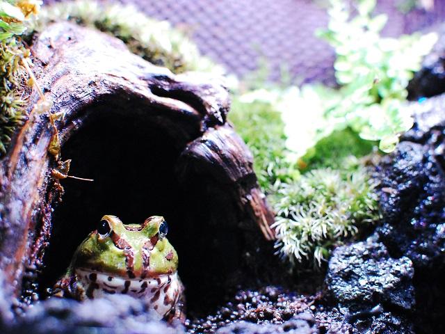 穴から顔を出すホオコケツノガエル