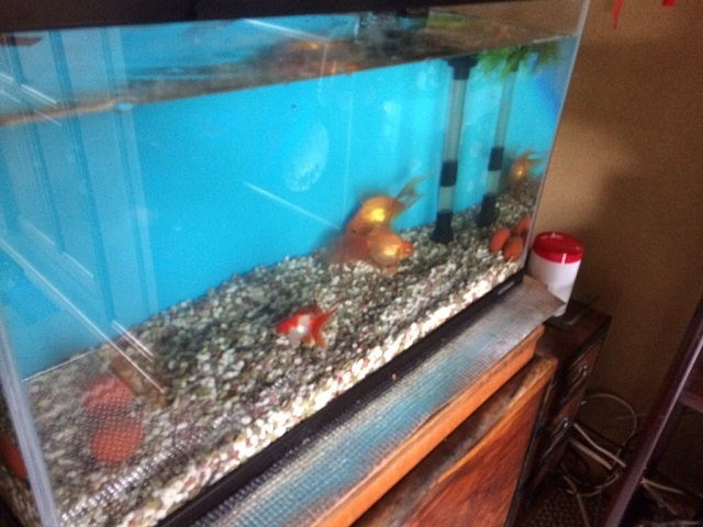 としおさんのルーツとなった祖父様宅での金魚水槽