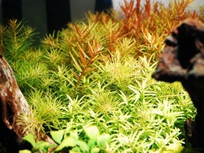 ボルクス グラッシーレディオRX122フレッシュで照らされた水草