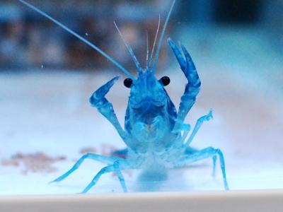 青いシャドースペクター(アメリカザリガニ)