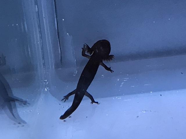 アカハライモリの幼体