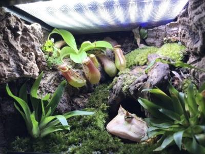 ツノガエルのテラリウム水槽