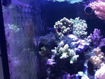 サンゴの影に隠れるフタイロカエルウオ