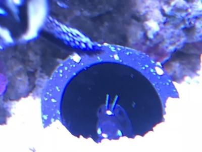 土管から顔出すフタイロカエルウオ